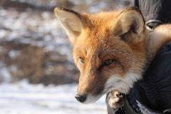 Играющий с лазером лисенок привел в восторг жителей Владивостока