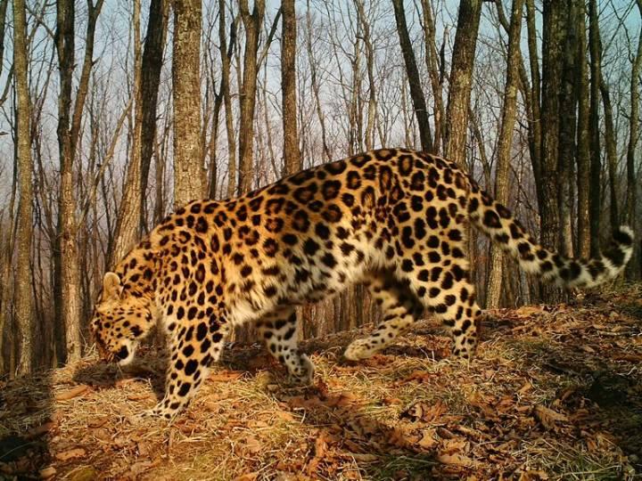 Самка дальневосточного леопарда «воскресла» в Приморье