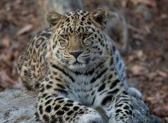 Программа переселения леопардов стартовала в Приморье