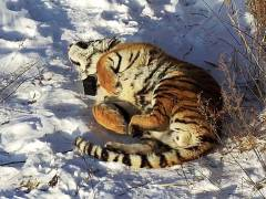 Знаменитый тигр Владик подружился с тигрицей-соседкой Филиппой