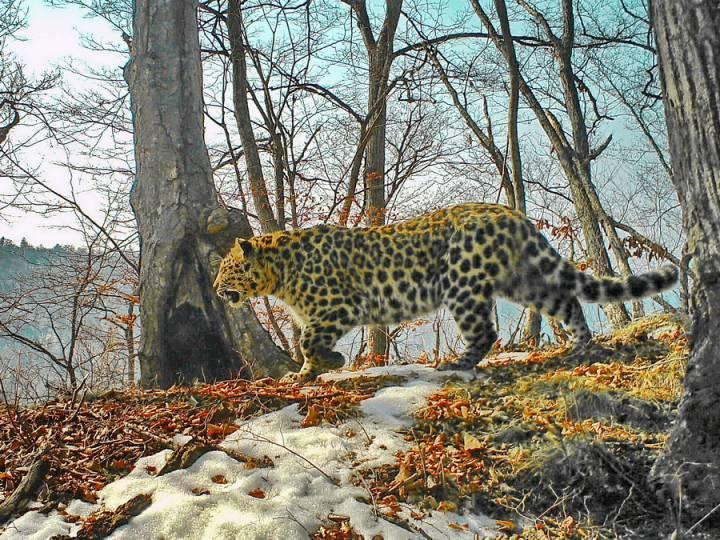 Леопард напал на двухлетнего ребенка под Уссурийском
