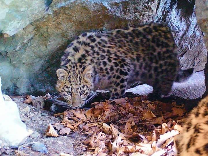 Уссурийская прокуратура проверяет, как вышло, что леопард набросился на ребенка