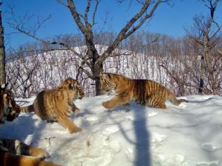 Ученые получили ценные кадры из жизни семьи амурских тигров в Приморье
