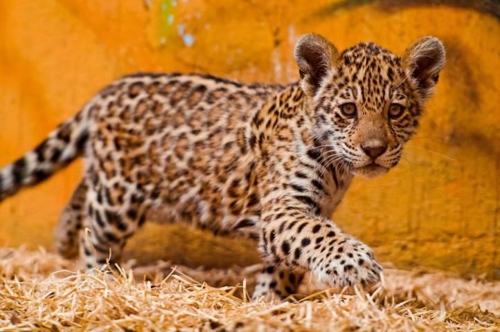 Зоопарк «Чудесный» планирует приобрести ягуара