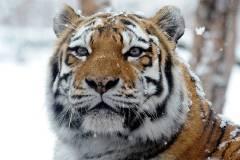 Крупного тигра сняли очевидцы близ Артема
