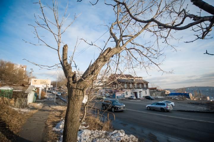 Во Владивостоке «дерево-убийца» может упасть на ЛЭП
