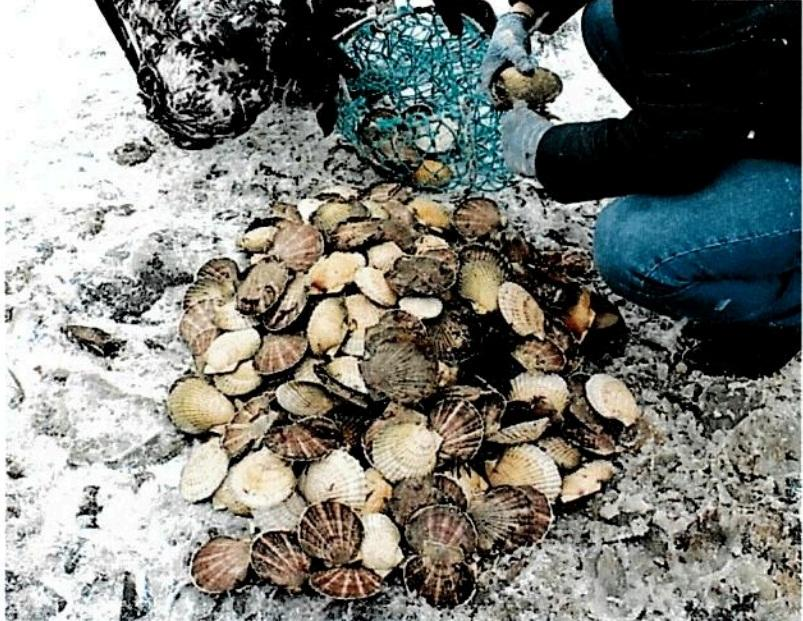 Приморцы добыли гребешка на 80 тысяч рублей