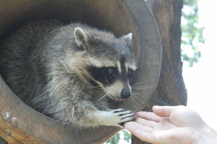Во Владивостоке енот покусал школьника в контактном зоопарке