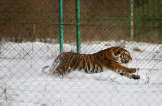 Приморец пострадал от лап тигра
