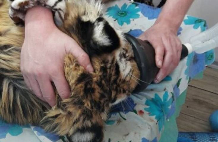 Раненный в Приморье тигренок пошел на поправку и начал хулиганить