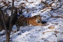 Сын тигра Амура из Приморского сафари-парка до смерти напугал волков
