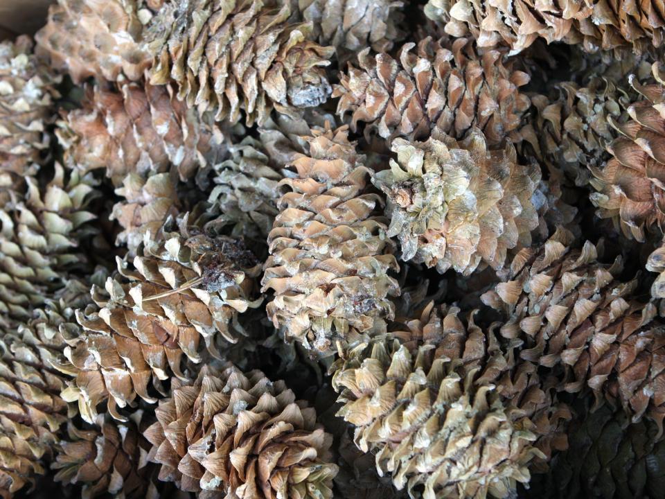 Сборщиков кедрового ореха ограничат в Приморье