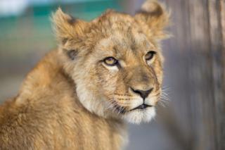 По факту нападения льва на ребенка возбуждено уголовное дело в Приморье