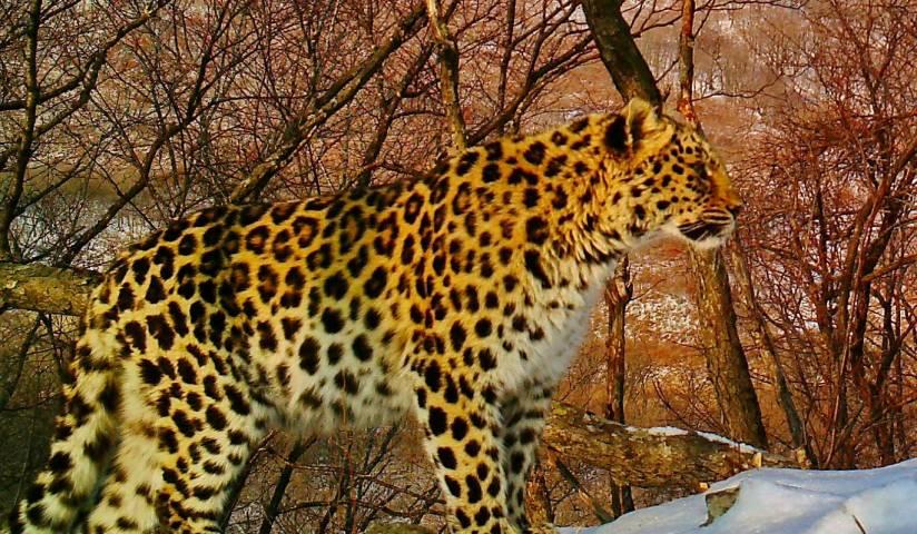 Талисману «Приморочки» - леопарду начали выбирать имя