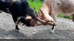 Меркель родила козленка в Приморском сафари-парке
