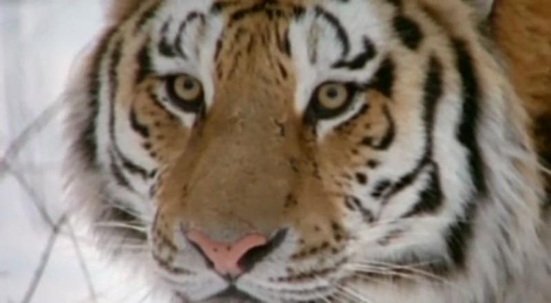 По факту гибели амурского тигра в Приморье возбуждено уголовное дело