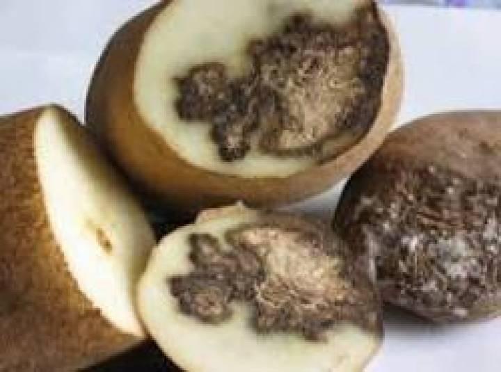 Жителей Владивостока попытались накормить гнилым картофелем