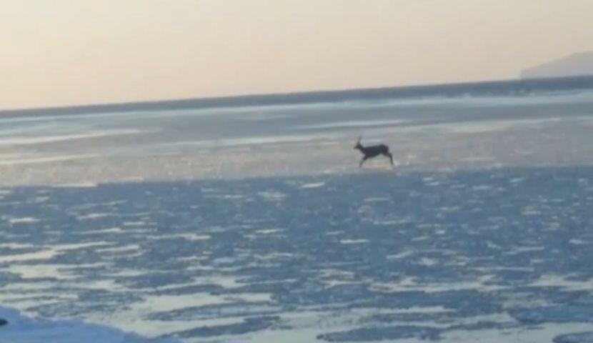 В Приморье рыбаки запечатлели оленя, бегущего по растаявшему льду