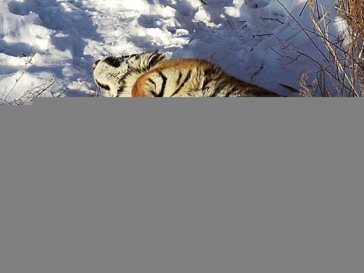 В Приморье готовятся выпустить в дикую природу тигров Владика и Филиппу