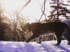 Леопард-долгожитель Алексей попал в объектив фотоловушки в Приморье