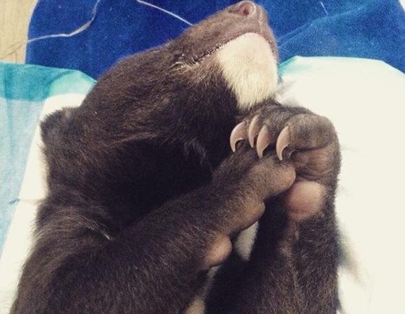 Гималайский медвежонок, найденный в Приморье, делает первые шаги