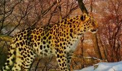 Специалисты восстановят в Приморье численность дальневосточных леопардов