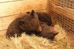 Истощенного медвежонка нашли в Приморье