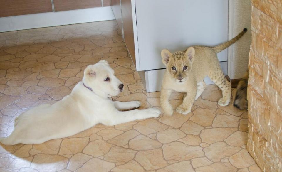 В Приморье собака взяла на воспитание маленького леопарда