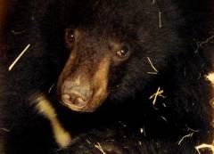 Спасенный в Приморье медвежонок идет на поправку