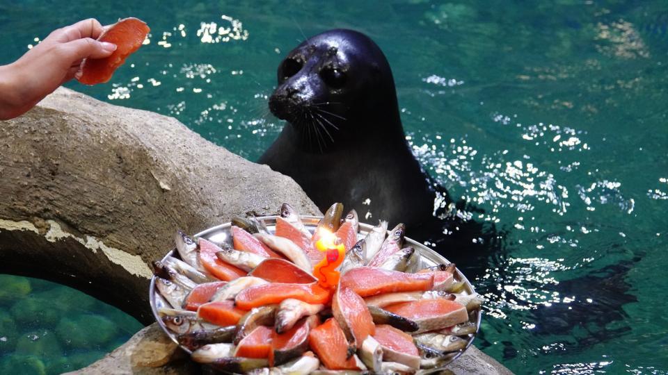 Торт из рыбы со свечами получили нерпы в Приморском океанариуме
