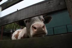 Молочное «баловство»: почему в Приморье не востребована глубокая переработка