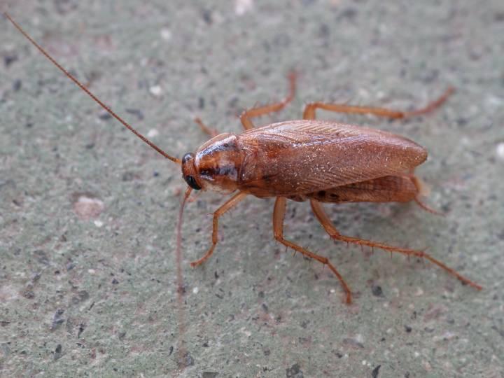 Владивосток жалуется на «завоз» крупных тараканов в дома