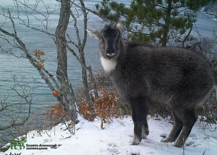 В приморской тайге был обнаружен редкий козел с уникальным окрасом
