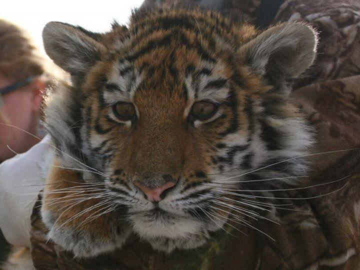 Жители Приморья выберут имя для тигрицы