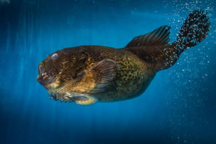 Жители Приморья привезли рыб-лягушек в океанариум