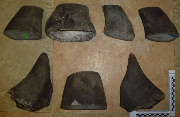 Двое мужчин пытались вывезти части тела носорога из Приморского края