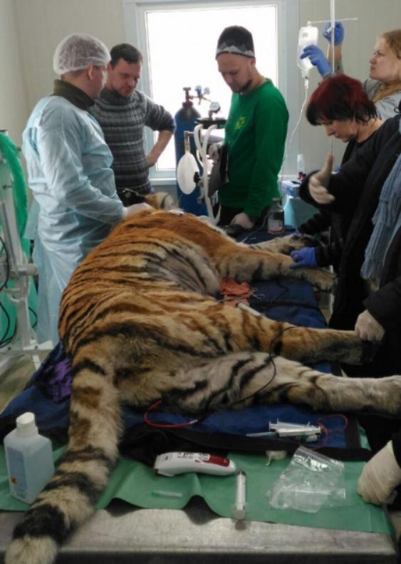 Раненную в Хабаровском крае тигрицу готовят к третьей операции в Приморье