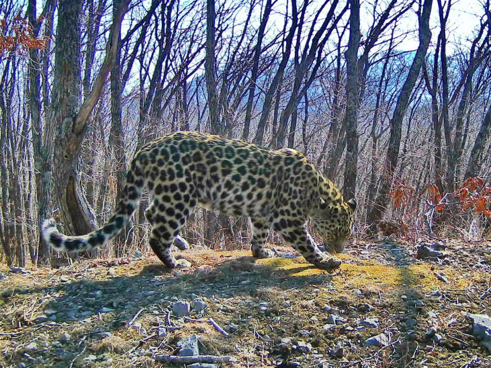 Приморцы назвали более 600 вариантов имени для самки дальневосточного леопарда Leo 61F
