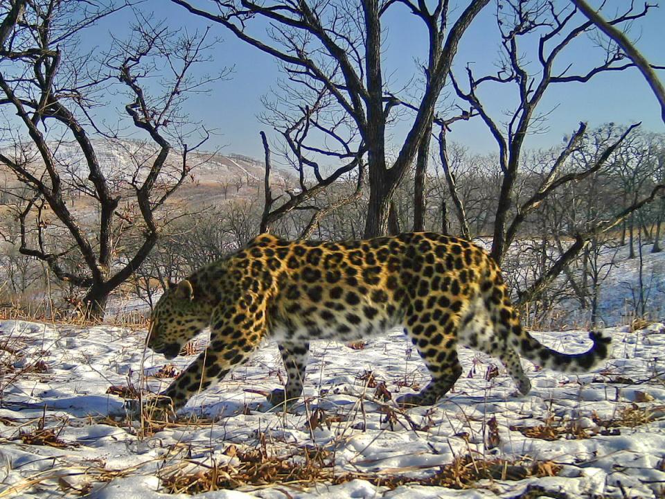 Самке дальневосточного леопарда пользователи Сети выбрали имя