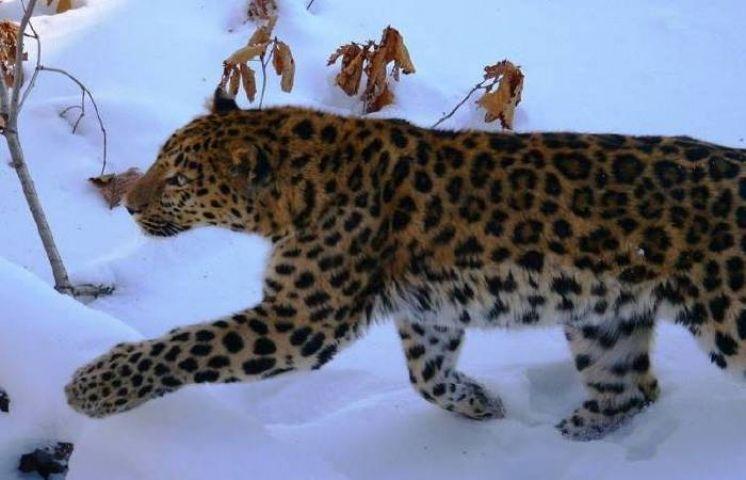 Дети и взрослые прошли по следам тигра и леопарда на «Земле леопарда»