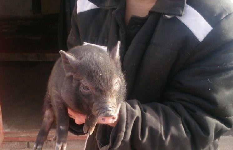 В приморской колонии выращивают декоративных свиней