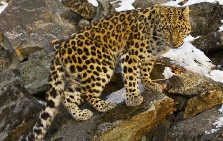 На «Земле леопарда» отметят День Кедра