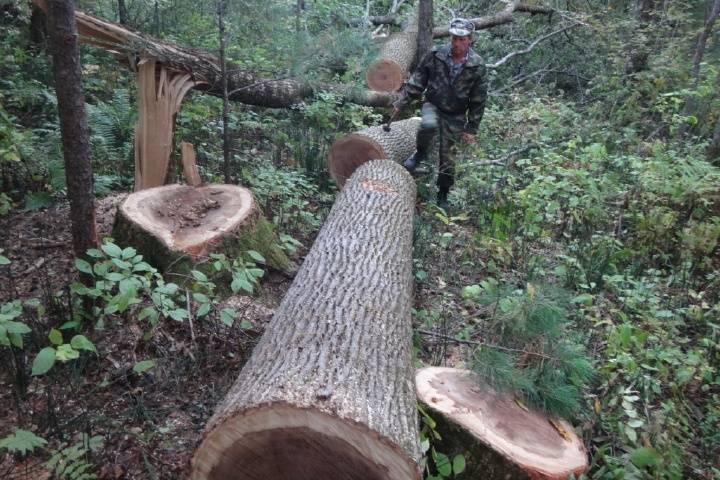 Незаконную заготовку древесины в Приморье пресекли полицейские