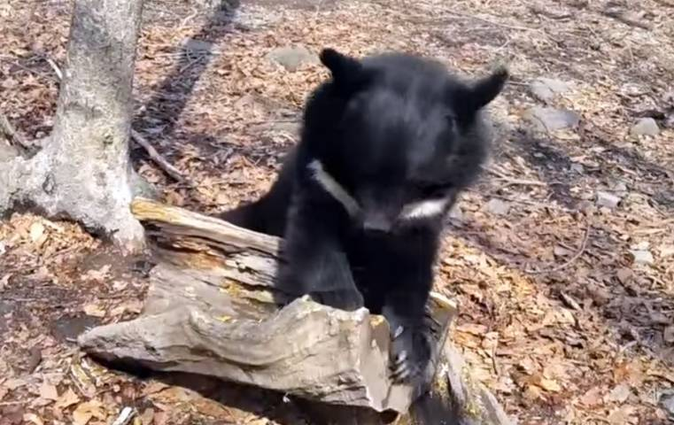Приморский сафари-парк поделился видео игр медведя и барсука