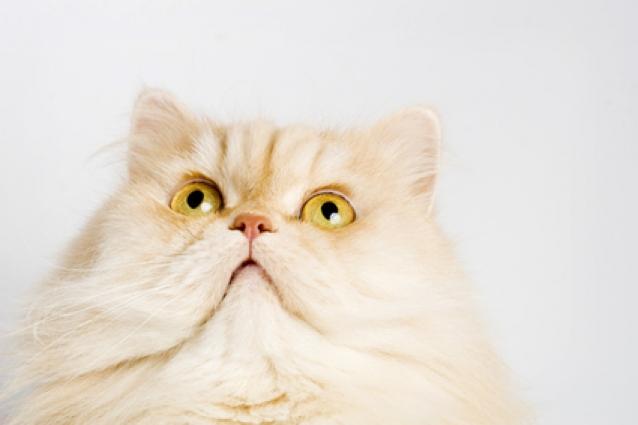 Губернатор японской префектуры привязался к коту, которого ему подарил президент РФ