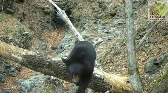 Гималайский медведь из Приморья стал кинозвездой