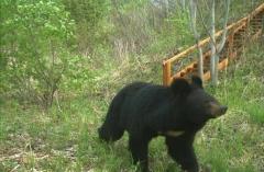 В Приморье спасли истощенного гималайского медвежонка
