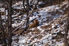 Семейство тигров зафиксировали фотоловушки одного из приморских заповедников