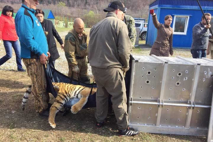 Тигрица Филиппа выпущена на свободу