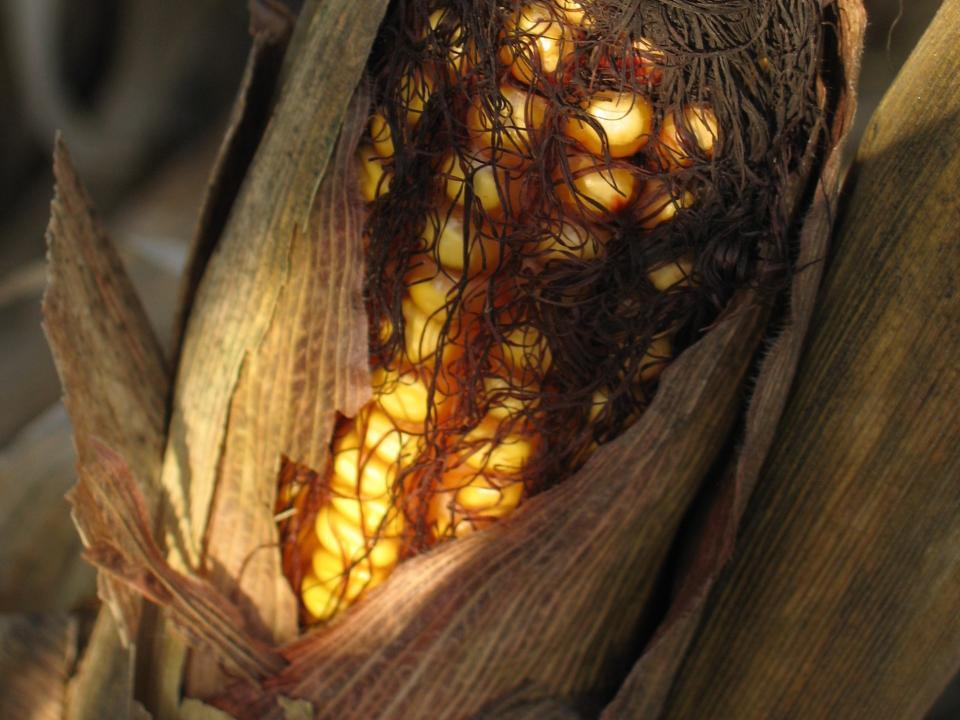 «Кукурузный план» почти выполнен приморскими фермерами